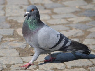 Rock_Pigeon