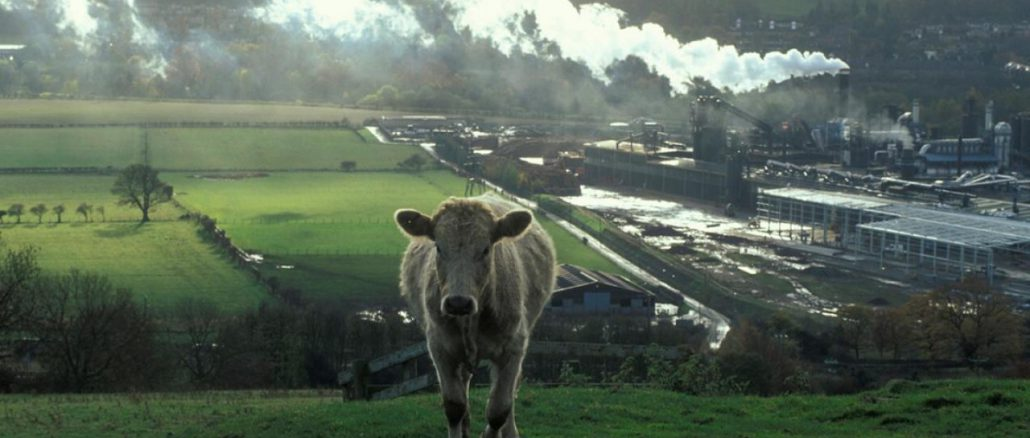 cows-image